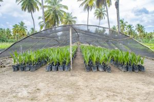 Coconut genetic resources within the Caribbean