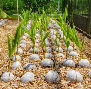 Planting & Care of the Coconut Palm