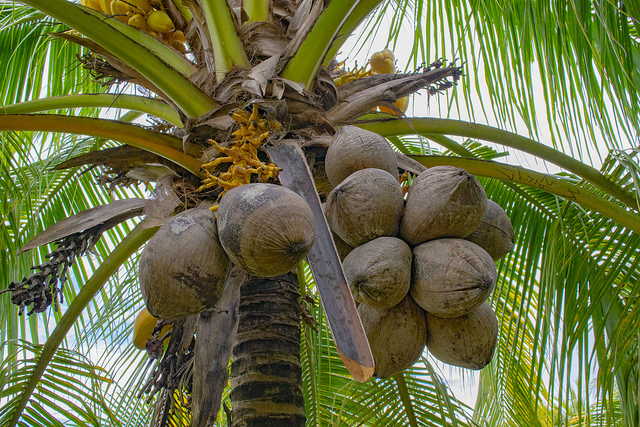 2018 CARDI Day Celebrations to Focus On Coconut