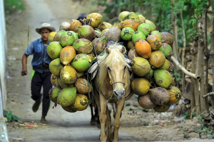 CARIBBEAN FARMERS PREPARE FOR COCONUT BOOM